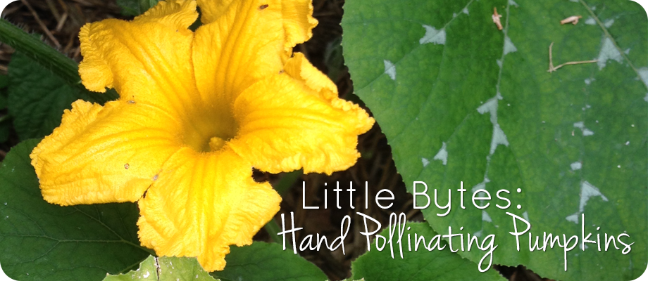 Little Bytes: Hand Pollinating Pumpkins #1