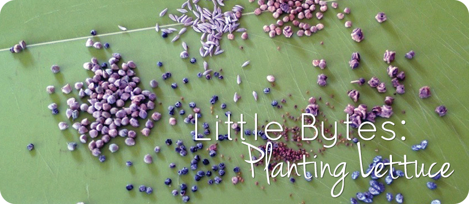 Little Bytes – Let's Plant Some Lettuce