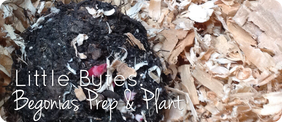Little Bytes: Begonia Prep and Plant