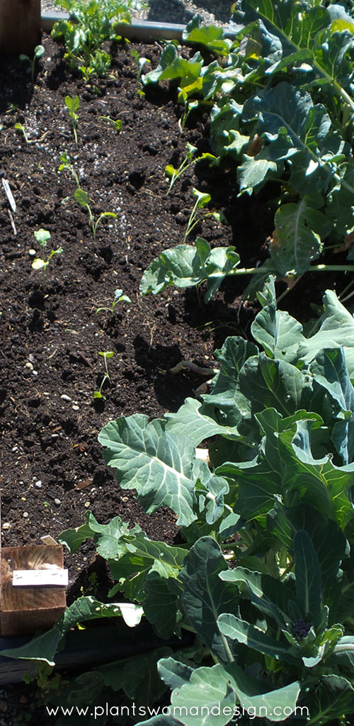vegetable garden, brocoli starts