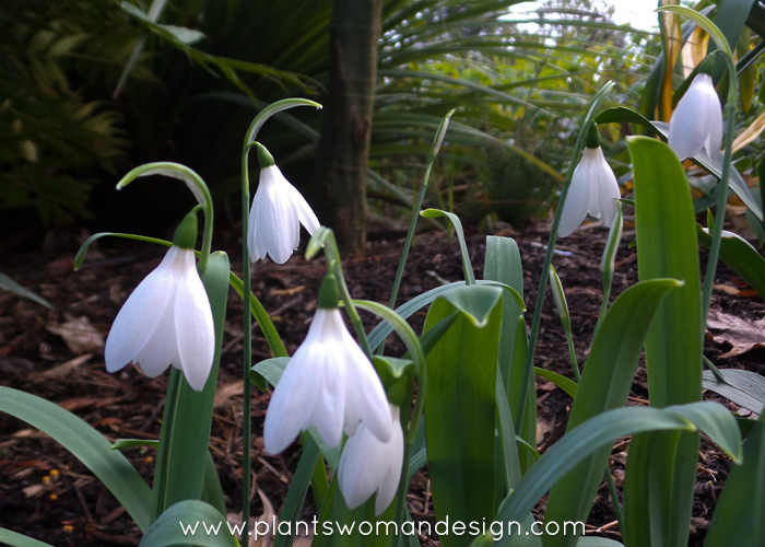 Snow Drop Fever: Beguiling Galanthus