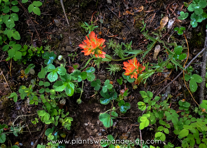 indian paint brush