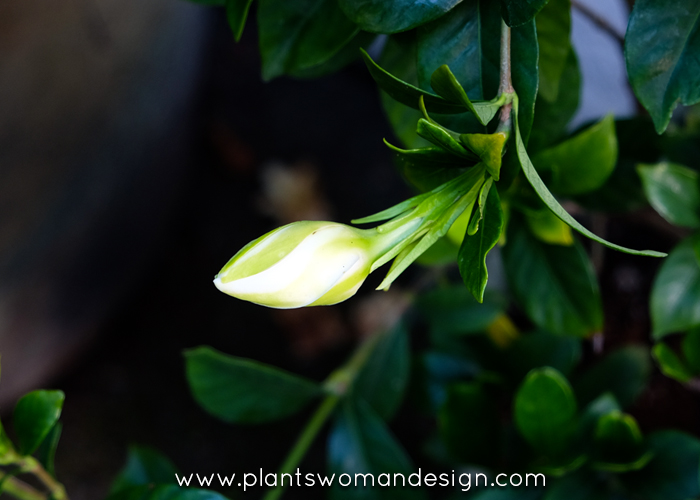 white gardenia bloom