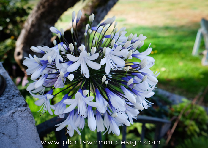 Agapanthus (another lily by another name)