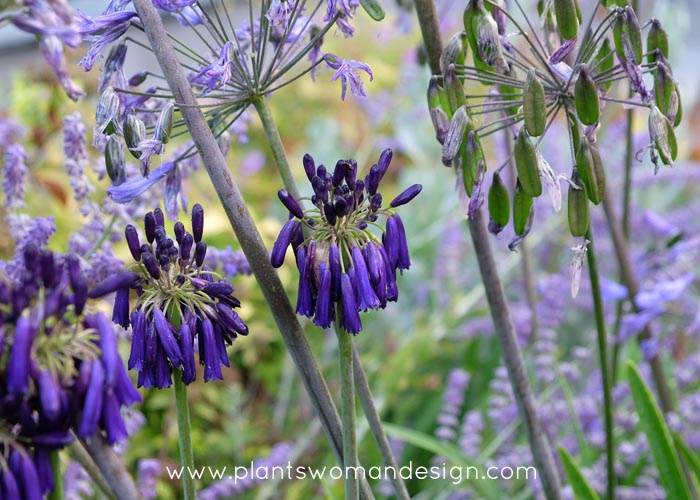 Agapanthus Dirty Fingers Muddy Knees